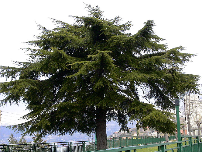 レバノンスギの画像 p1_19
